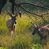 Backlit bucks in velvet.
