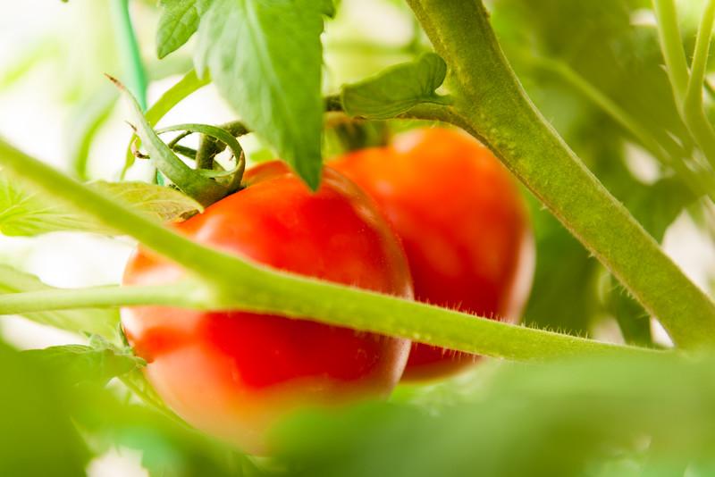 Pam's tomatoes.