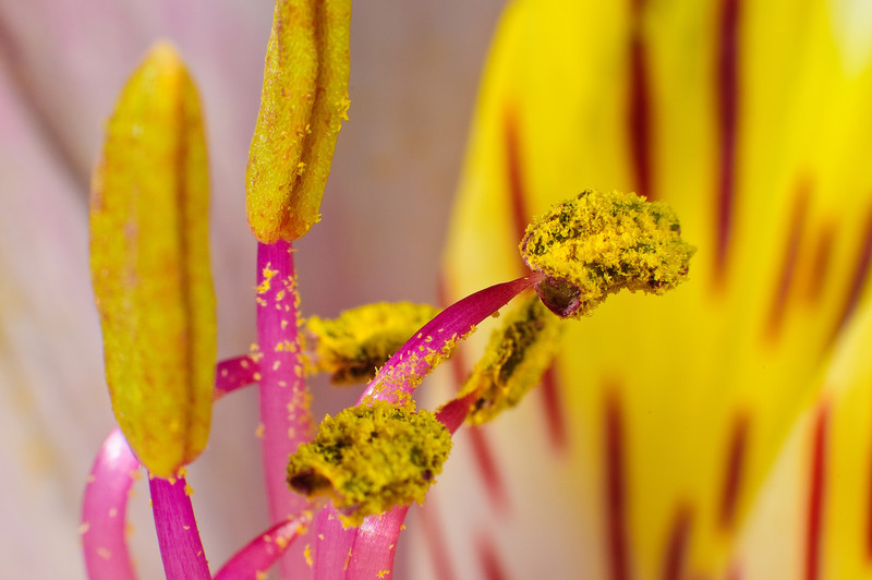 Pollen on anthers of alstroemeria stamen (a.k.a. Lily of Peru)