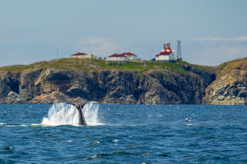 A highlight of our time on the east coast of Newfoundland was the number of humpback whales we encountered. At times the sea around us was heaving with them as they fed on schools of capelin.