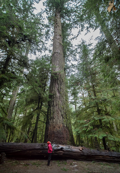 They have some really big trees in B.C. Old, too.