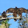 Myakka River Vultures G   03