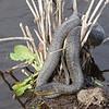 Myakka River water snakes G 05