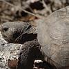 Lover's Key Gopher Tortoise 00