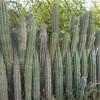 Bonaire cactus fence 01