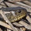 Myakka River water snake j01