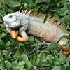 Puerto Rico Iguana
