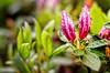 Azaleas Ready to Bloom