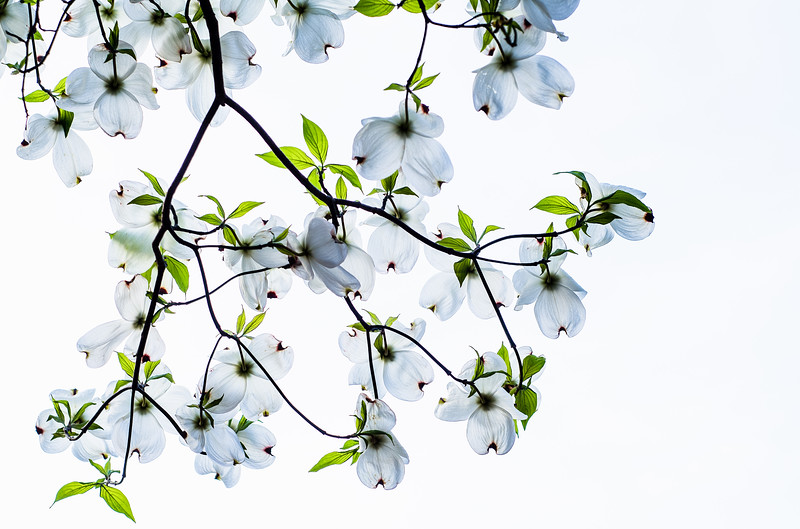 Dogwoods from Below