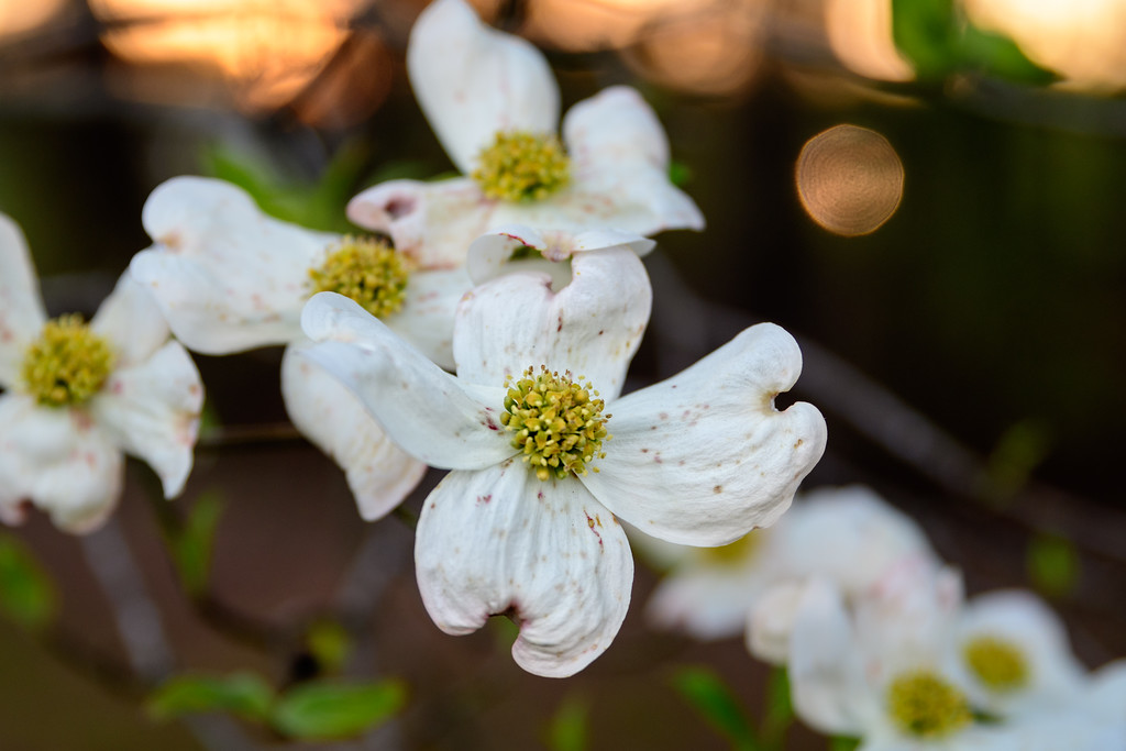 Dogwood Blooms in the Sunset