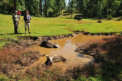 Cows enjoying nice mud