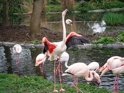 Flamingo at London Zoo