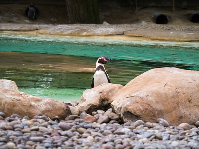 Penguin at London Zoo