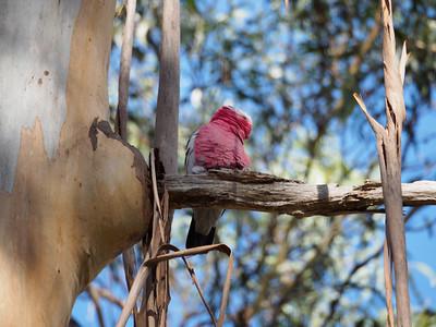 Galah - rose-breasted cockatoo