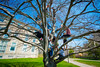 Architecture students perched in a tree outside Abbott Hall<br /> <br /> Photographer: Douglas Levere