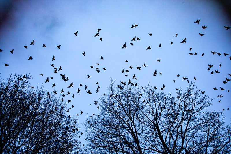 Flock of birds flying from the trees, believed to be a murmuration of starlings, near Crofts Hall in December 2019.<br /> <br /> Photographer: Douglas Levere