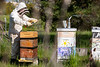 Dave Hoekstra, with Biological Sciences, checks on the bee hives near Crofts Hall in May 2020. The bees survived their first winter in this location. <br /> <br /> Photographer: Meredith Forrest Kulwicki