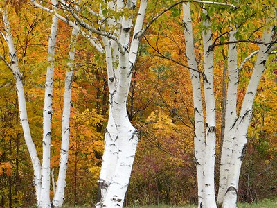"""Fall Birch"" (photography) by Kathy Brady"