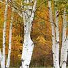 """Fall Birch"" (photography) by Kathy Brady"