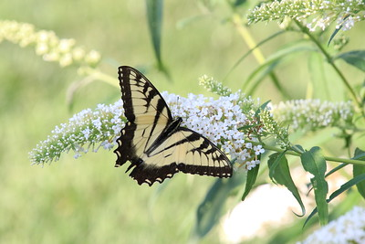 """Yellow Swallowtail"" (photography) by Kathy Brady"