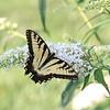 """Yellow Swallowtail"" (photography) by Kathy Brady"