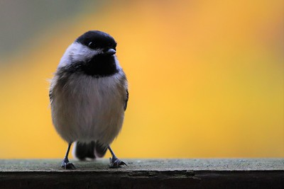 """Autumn Chickadee"" (photography) by Kathy Brady"