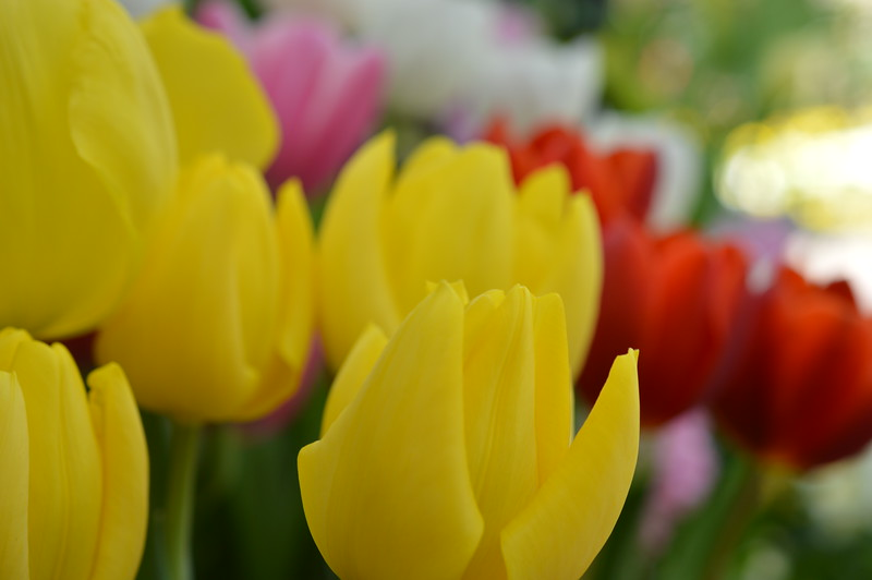 """""""Tulips in Spring"""" (photography) by Kristin Capezio"""