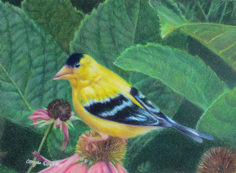 """Goldfinch"" (colored pencil) by Caryn Coville"