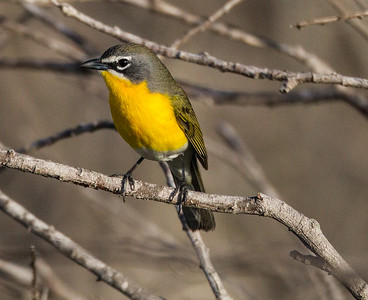 Yellow-breasted Chat  San Luis Rey Oceanside 2015 04 02-3.CR2