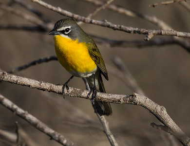 Yellow-breasted Chat  San Luis Rey Oceanside 2015 04 02-4.CR2