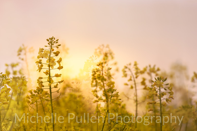 Rapeseed Sunrise