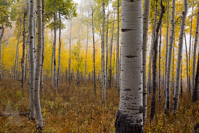 Owl Creek Aspens in the Fog #4