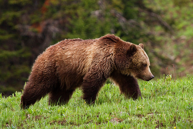 Grizzly sow walks along a mountain in the morning