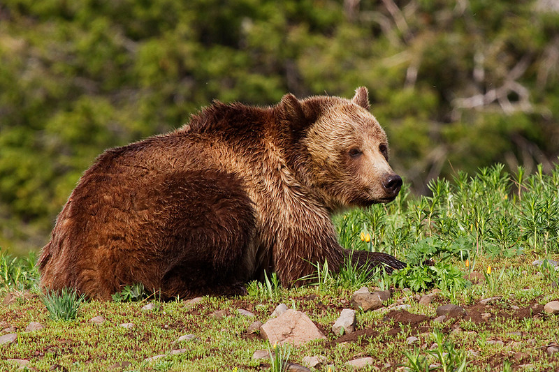 Grizzly sow laying down in the grass.
