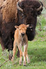 "A bison cow and ""red dog"" calf."