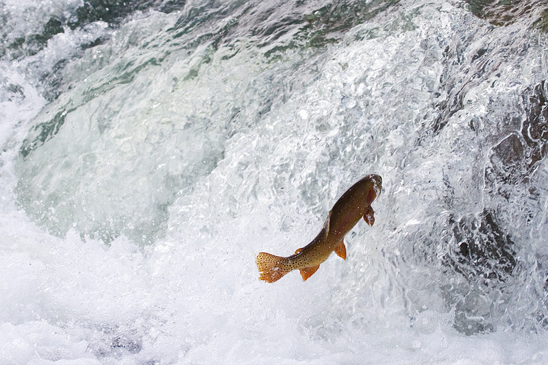 Yellowstone cutthroat trout jumping the LeHardy Rapids.
