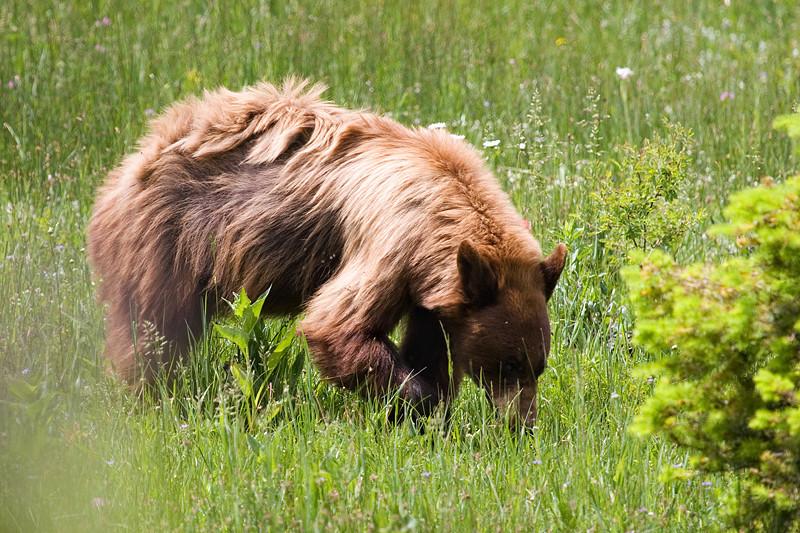 A black bear foraging.