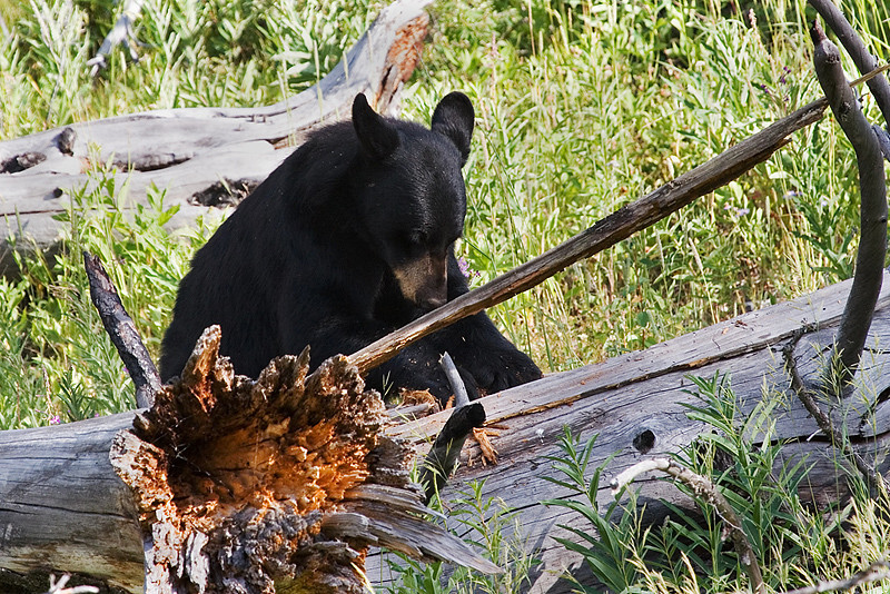 Young black bear foraging for food.