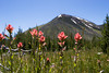 Indian paintbrush blooming with Mount Sheridan in the background.