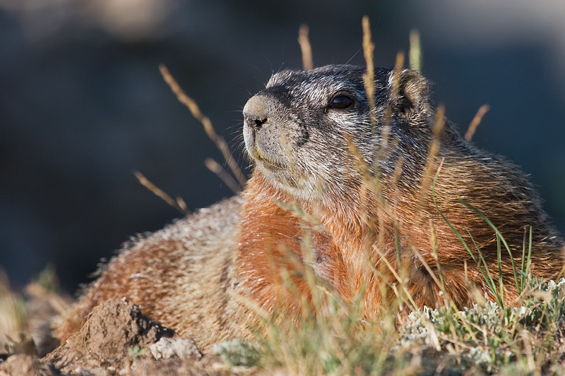 Yellow-bellied marmot on some rocks.