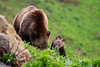 A grizzly sow and her cubs forage for plants on the side of a mountain.