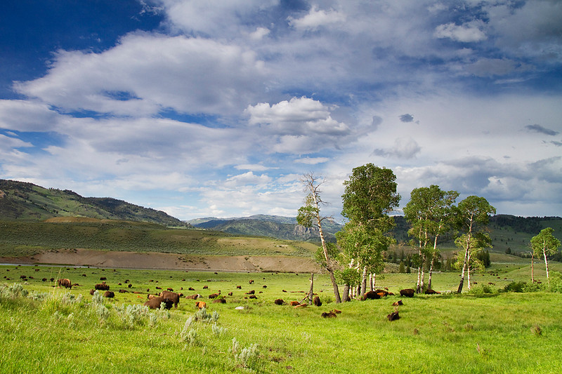 A herd of bison grazes in Lamar Valley.