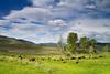 A herd of bison grazes in Lamar Valley.