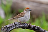 A Chipping Sparrow perches on a branch.