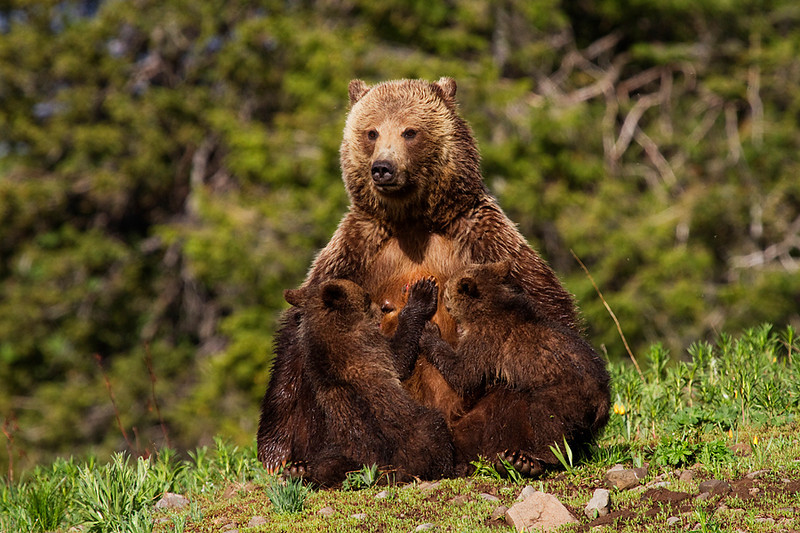 A grizzly sow nurses her two cubs in the morning sunshine.