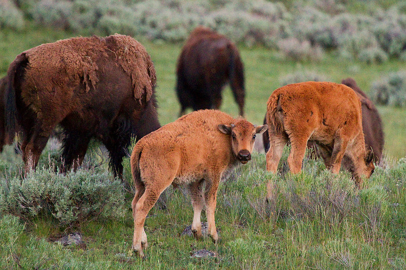 "A ""red dog"" bison calf grazes with its herd."