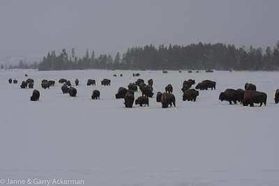 Bison grazing