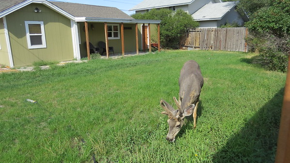 Deer in next yard, Cody.