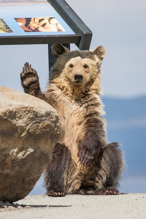 IMAGE: https://photos.smugmug.com/Yellowstone-2016/i-7gbzpGt/0/XL/ys%204%282%29-663-XL.jpg
