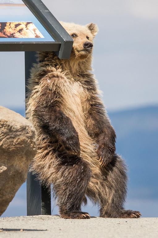 IMAGE: https://photos.smugmug.com/Yellowstone-2016/i-Bp7P8nF/0/XL/ys%204%282%29-642-XL.jpg